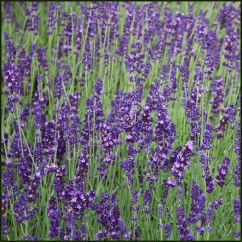 soil type for lavender top 28 soil type for lavender top 28 soil type for lavender lavandula angustifolia soil