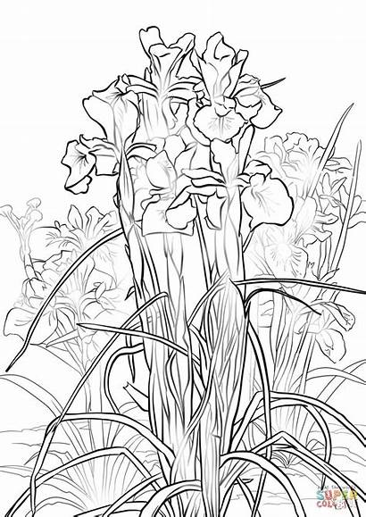 Iris Coloring English Pages Flower Printable Drawing
