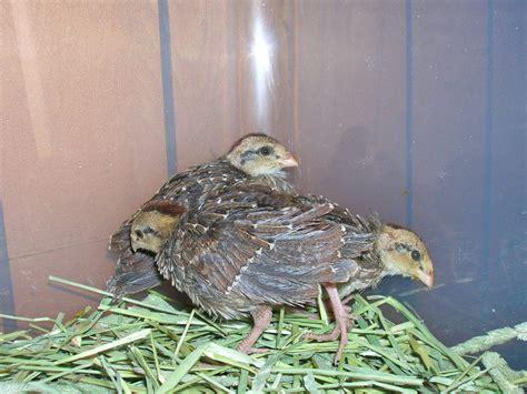Hatching Quail Eggs And Brooding Quail Chicks