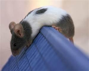 Mäuse Bekämpfen Haus : m use vertreiben ungeziefer im haus ~ Michelbontemps.com Haus und Dekorationen