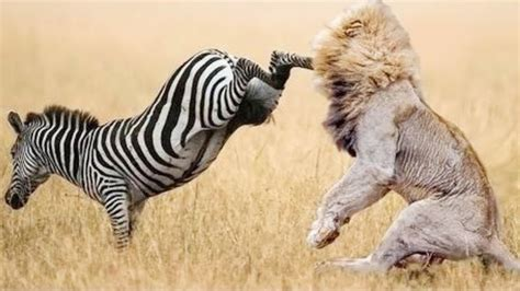 amazing wild animals attacks wild animal fights