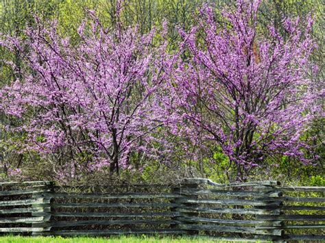 tree with lavender flowers plant redbud trees this fall for bright purple blooms that will brighten up your spring gt gt http