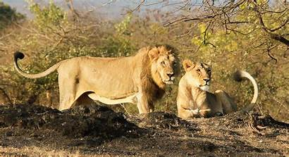 African Asiatic Lion Lions Between Differences Lioness