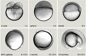 Zebrafish as a Developmental System