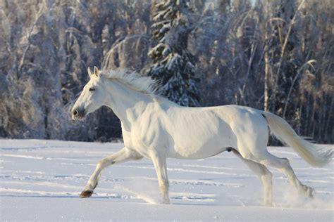 horse camarillo breed
