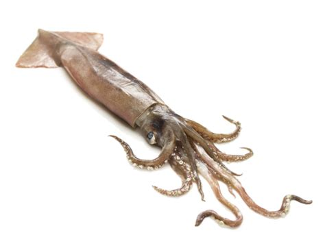 squid   plate  inseminate  mouth