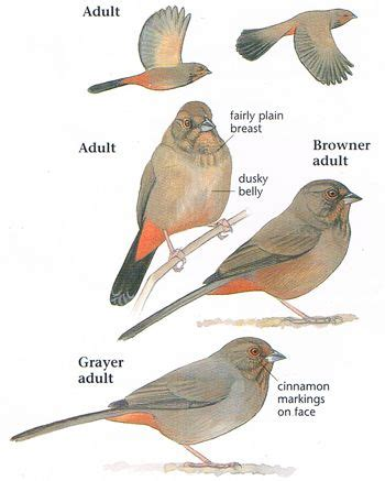 california towhee bay area birds pinterest search