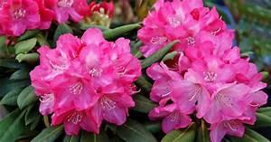 Rhododendron Blüten Schneiden : rhododendron schneiden mein sch ner garten ~ A.2002-acura-tl-radio.info Haus und Dekorationen