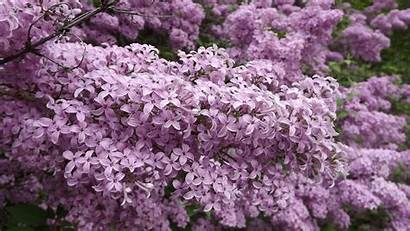 Blossoms Lilac Wallpapers Phone 4k Azalea Desktop