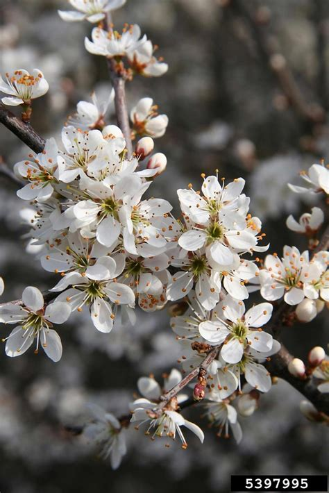 prunus spinosa blackthorn plum  botany