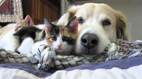 video  murkin  dog falls asleep   kittens