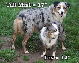 Miniature Australian Shepherd Size Comparison | www ...