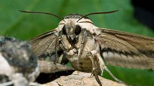 Privet, Hawk-moth, Sphinx, Ligustri