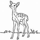 Deer Mule Drawing Coloring Draw Getdrawings Blacktail sketch template