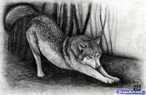 learn   draw  realistic wolf realistic drawing