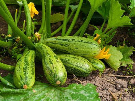 zucchini im eigenen garten pflanzen liebenswert