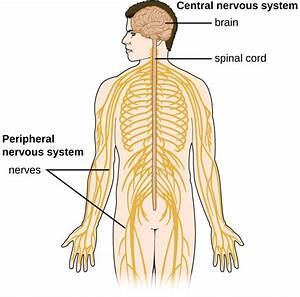 26 1  Anatomy Of The Nervous System