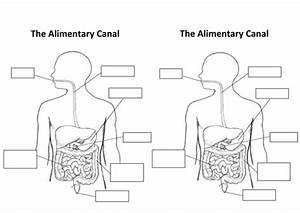 The Alimentary Canal  Digestive System  By Aaron Chandler