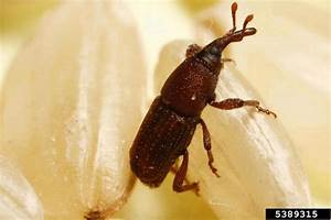 Rice Weevil  Sitophilus Oryzae  Coleoptera  Curculionidae