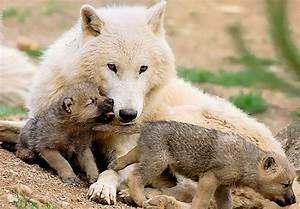 Bébé Loup Blanc : miam maikan loup blanc tbear blog ~ Farleysfitness.com Idées de Décoration