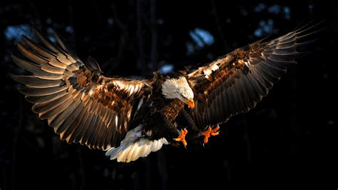eagle wallpapers high quality