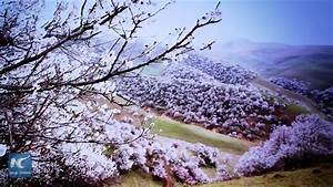 "Spectacular! Watch ""Apricot Valley"" during full bloom in ..."