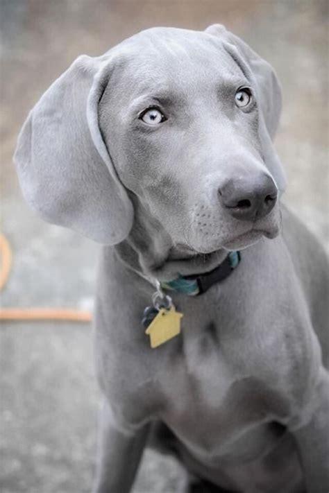 ghost dog beautiful weimaraner puppies dog breeds
