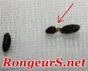 Crottes De Souris : rongeur 39 maladies digestif parasites taeniasis des ~ Melissatoandfro.com Idées de Décoration