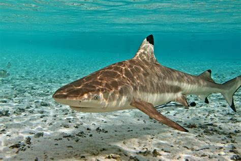 requin pointe noire tetiaroa society