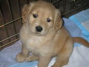 118 best Baby golden retrievers images on Pinterest | Baby ...
