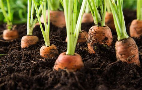 how to carrots from the garden how to grow carrots complete garden season growing guide
