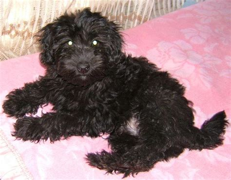 pictures  maltese poodle puppies