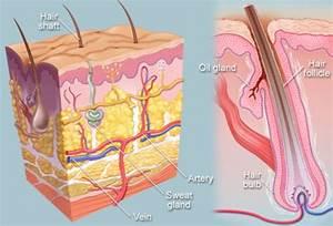 Hair (Human Anatomy): Image, Parts, Follicle, Growth ...