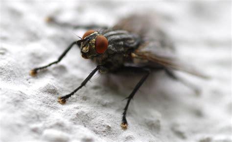 how does a house fly live how do houseflies live zala hub