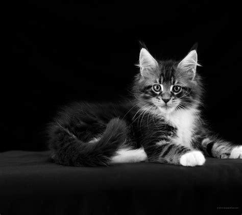 bureau ecran noir 2160 x 1920 maine coon noir et blanc beaux milieux
