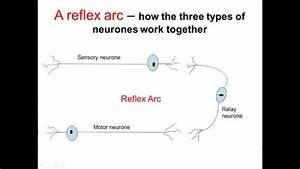 Nervous System Part 2 - Reflex Arc  A-level Biology