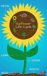 What Is The Life Cycle Of A Sunflower