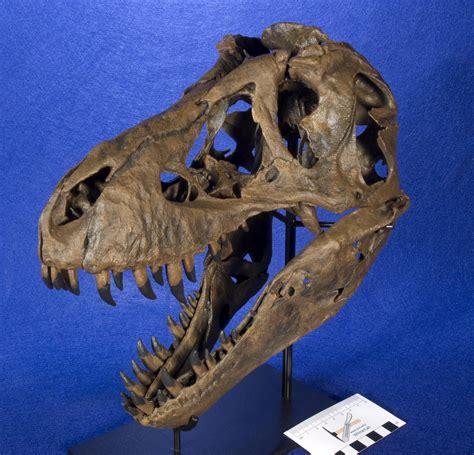 WitmerLab Dinosaur Skull Collection: tyrannosaurus