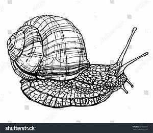 Drawn snail sketch - Pencil and in color drawn snail sketch