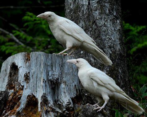 Rare White Ravens At Vancouver Island Beach