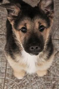 12 reasons why you should never own a german shepherd