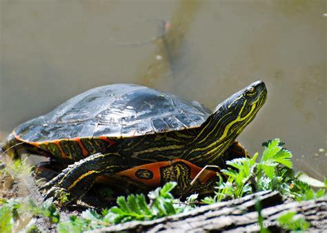 painted turtle prairie nature western painted turtles at wascana lake