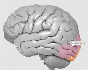 Occipital Lobe Brain Injury