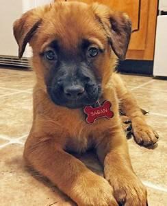 Saban the Mixed Breed -- Puppy Breed: German Shepherd Dog ...