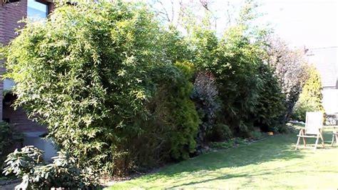 Garten Sichtschutz Pflanzen Immergrün by Sichtschutz Pflanzen Immergr 252 N Outstanding Holz
