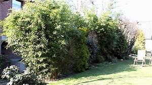 Sichtschutz Pflanzen Pflegeleicht : bambus bambuseae immergr ner sichtschutz newwonder555 ~ A.2002-acura-tl-radio.info Haus und Dekorationen