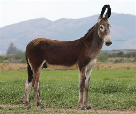 donkey andalusian asno andaluz breeds animals majestic horse