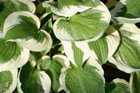 types of hosta plants hosta plants varieties by color care slug control