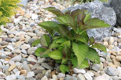 hortensienbauernhortensien schneiden anleitung wann