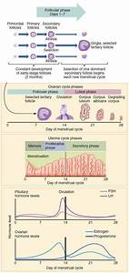 Wikimedia Chart Shows Menstrual Cycle Phases And Hormone